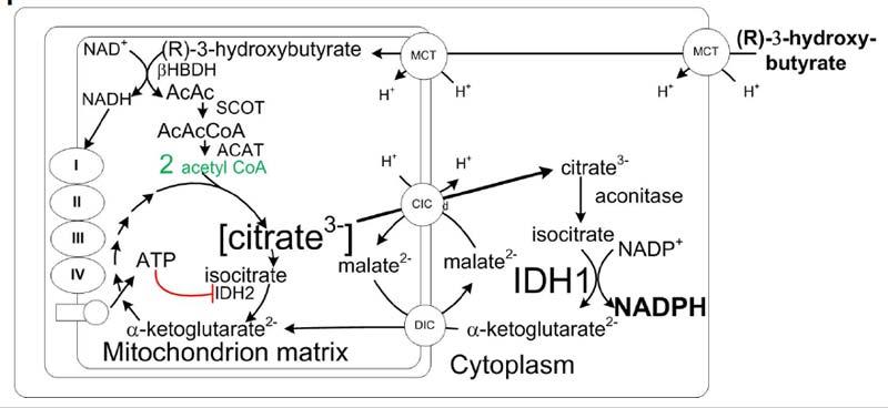 mitochondrion matrix
