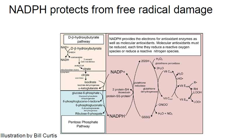 nadph protects from free radical damage