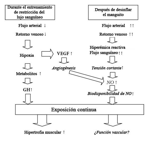 cambios vasculares que ocurren en respuesta al BFR