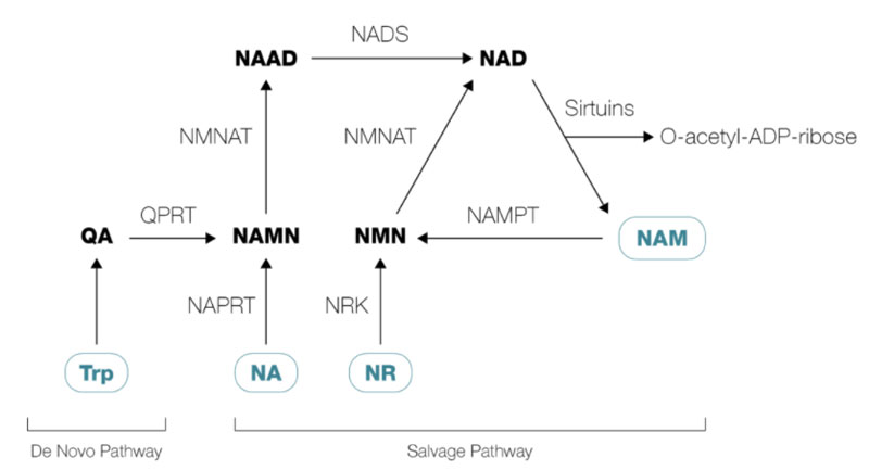 NAD salvage pathway