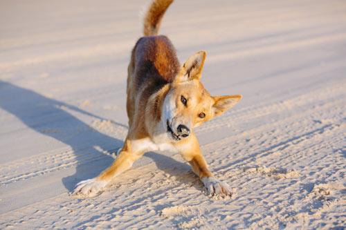dingo jouer-s'incliner sur une plage
