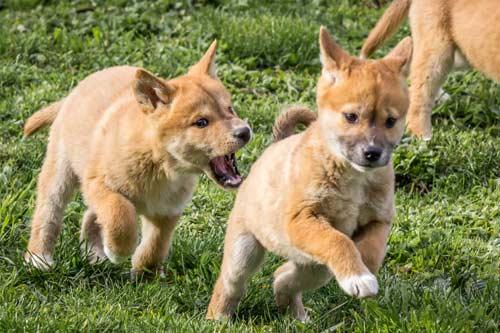 chiots dingo en jeu
