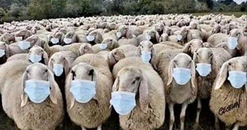 sheeps with facemasks