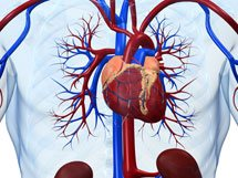 L-arganine supports endothelial function to a healthy cardiovascular system.