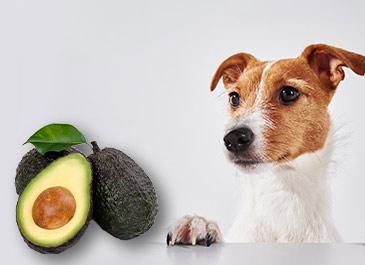 mascotas pueden comer aguacate