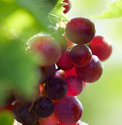 grape seed fruit