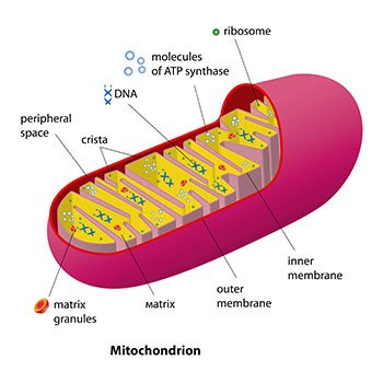 Mitochondria Cell Phones Impact
