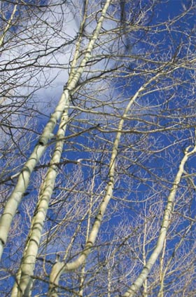 D-Mannose Birch Trees