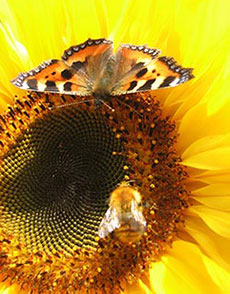 Essential Oil Attract Pollinators