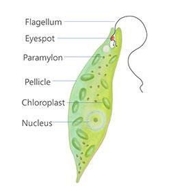 Euglena algae