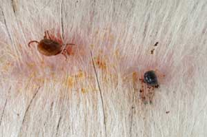 Effects of Ticks on dog skin