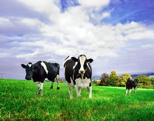 Beba leche sin procesar de animales alimentados con pastura