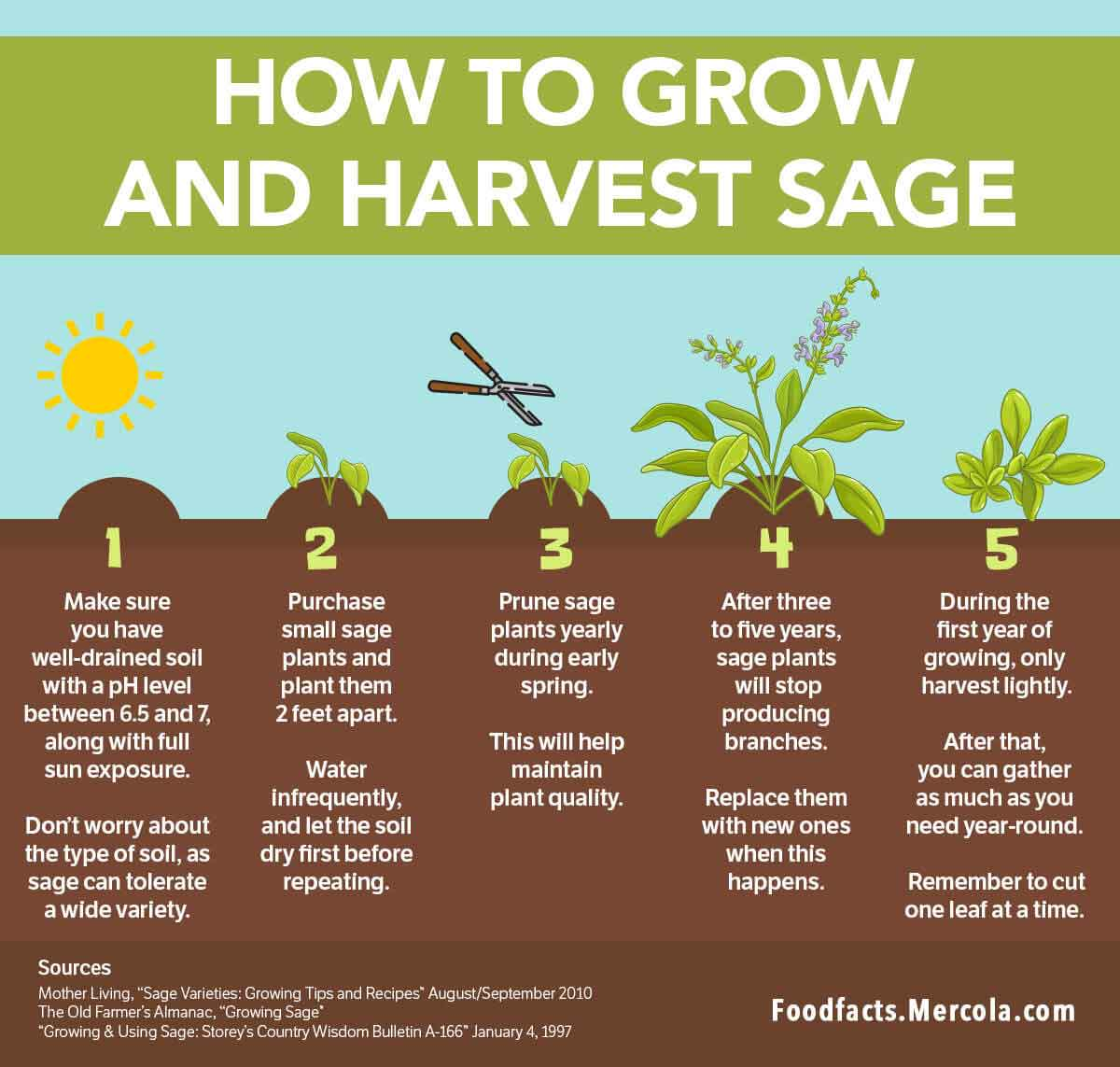What Is Sage Used For? How-to-grow-harvest-sage