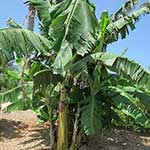 2-Year old Banana Tree