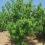 2-Year old Peach Tree