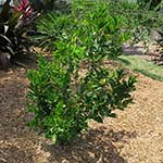 2-Year old Clementine Tangerine Tree