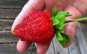 Giant Strawberry with Mineral Solution