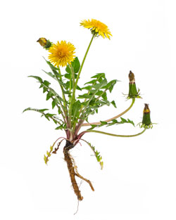 dandelion plant with roots