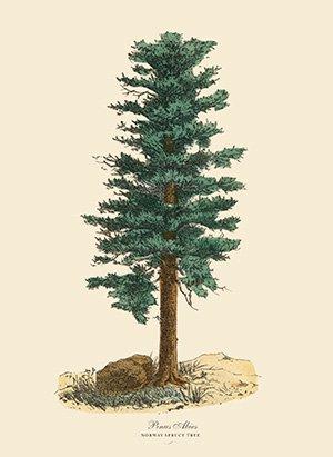 Hmrlignan norway spruce