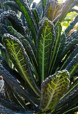 Organic Lacinato, Kale, Liver-protectant food