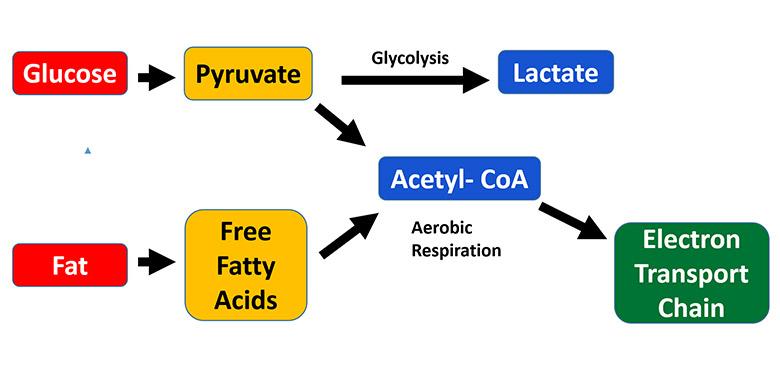 bfr myostatin inhibitor