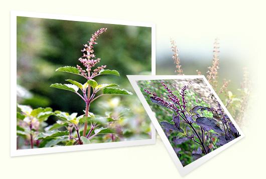 Tulsi Plant Images Tulsi Plant