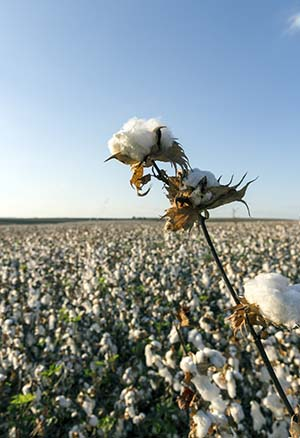 Organic Cotton Facts