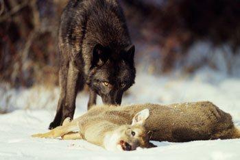 Do Wolves Eat Prairie Dogs
