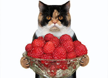 cat carrying raspberries