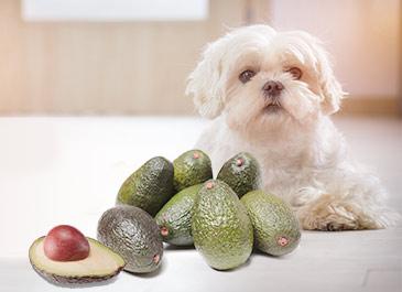 Dog with avocado