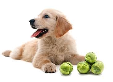 dog sitting with brussels sprouts