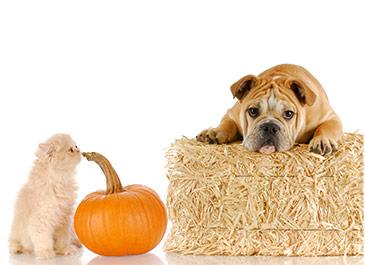 Pets With Pumpkin