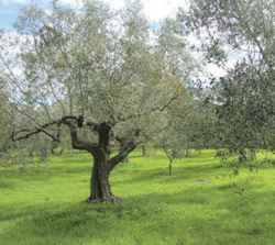 Árbol frutal de Olivo Kalamata
