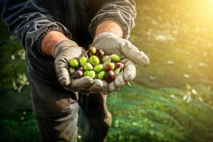 Cultivo de aceitunas