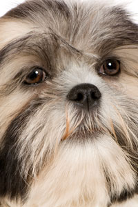 Antioxidants benefit for Shih Tzu's Eyes