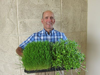 Wheat grass and sunflower shoots harvest
