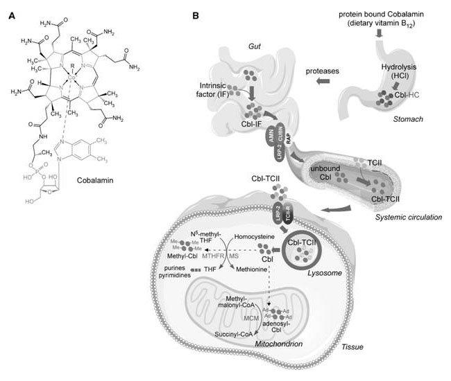 grafica-vitamina-b12