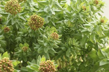 Rhodiola Rosea (Golden Root)