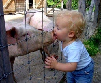 swine flue