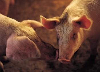 farm animals, pig, animal rights