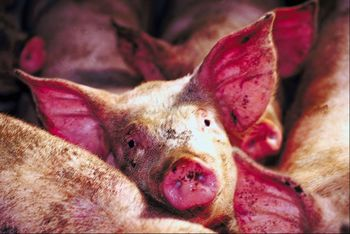 pork, ham, bacon, pigs, swine, superbugs, MRSA, infectious diseases, infections, PERV, menangle, PRRS, hepatitis, encephalitis, Nipah, virus, bacteria, food poisoning, trichinosis