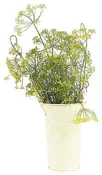 anise, herb
