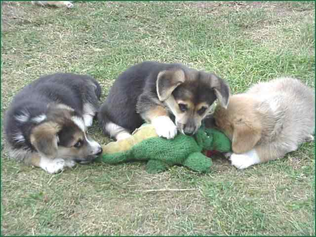 Dogs and Alligator