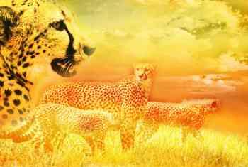 cheetahs, raw food, food