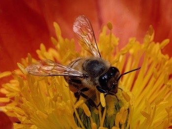 bees, honeybees, pesticides, insecticides, colony collapse disorder, CCD, clothianidin, imidicloprid, cell phones, high fructose corn syrup, HFCS, genetically modified crops, GMO