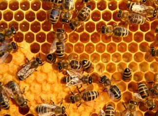 Propolis pszczeli