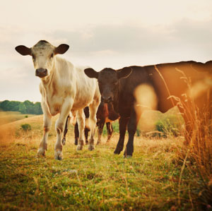 animals in the farm