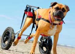 Mεγάλο ποσοστό σκύλων υποφέρει από αρθρίτιδα...