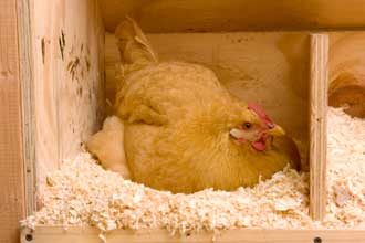 chicken, hen laying an egg