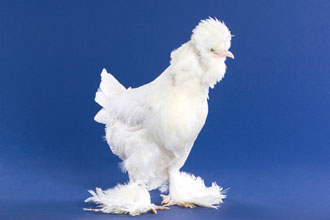 white sultan chicken
